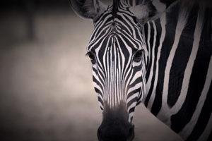 uganda august 2019 zebra
