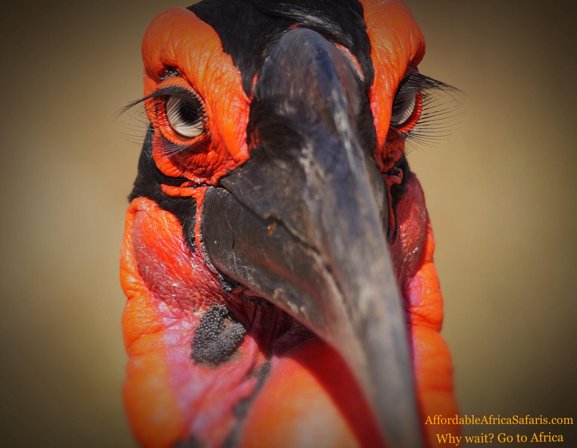 Hornbill close up