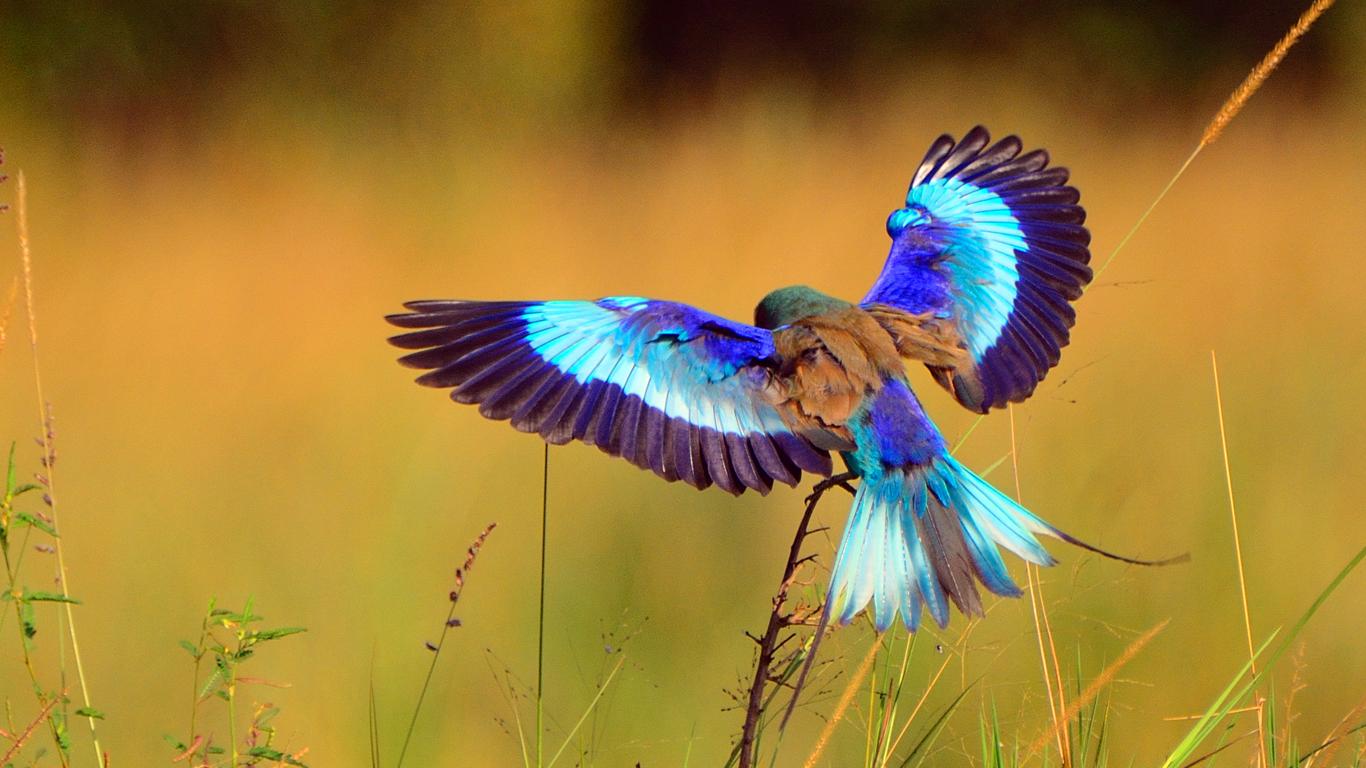 Birding Safari - Lilac-breasted roller