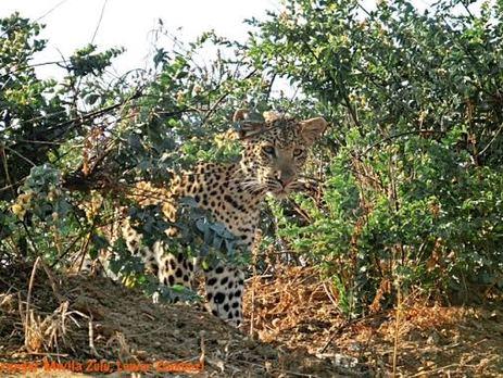 cheeta in bush