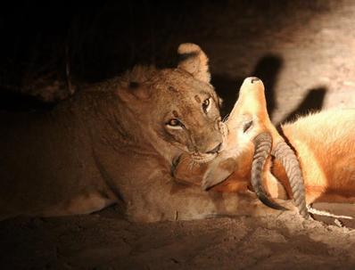 lion antilope