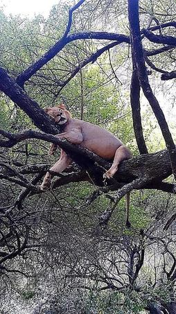lion in tree resting