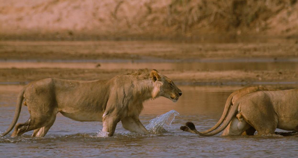 lions crossing river