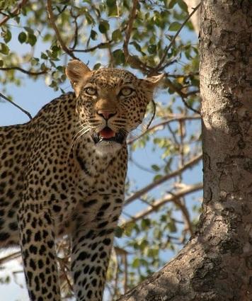 cheetah in tree