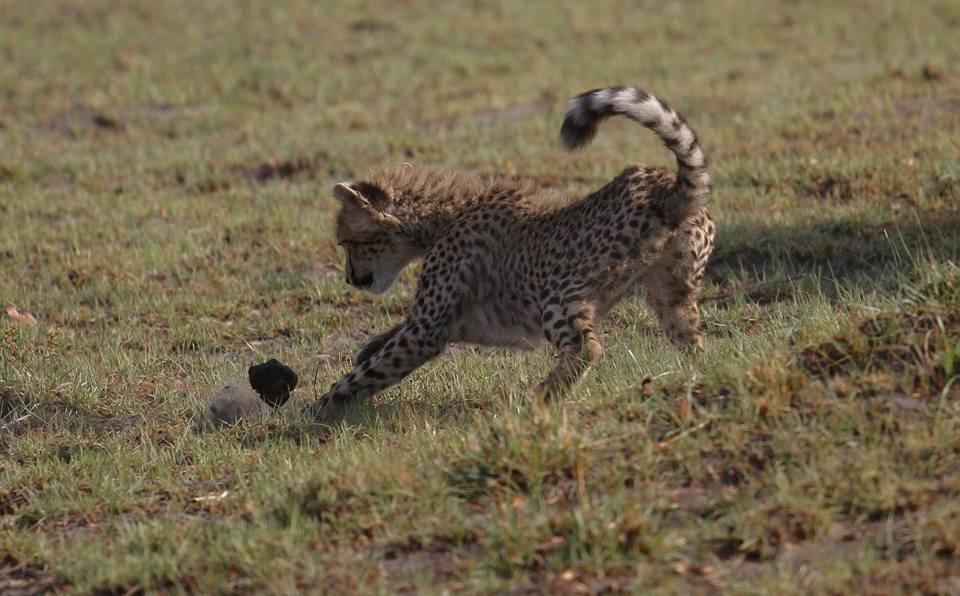cheetay cub