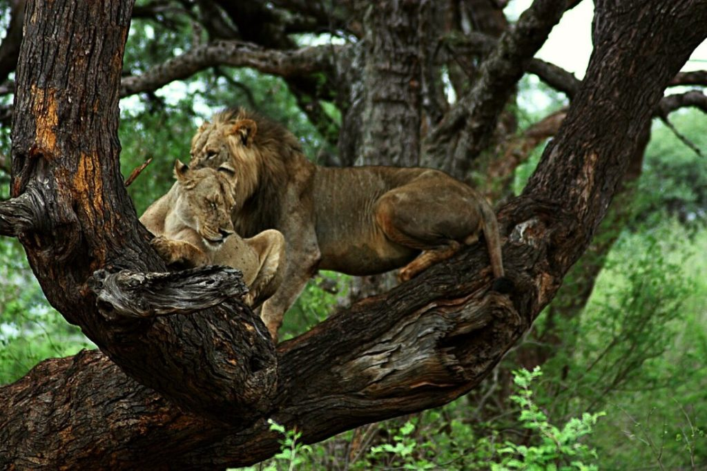 lion and lioness in tree