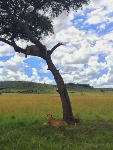 lions waiting in tree