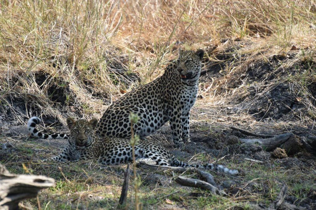 resting leopards