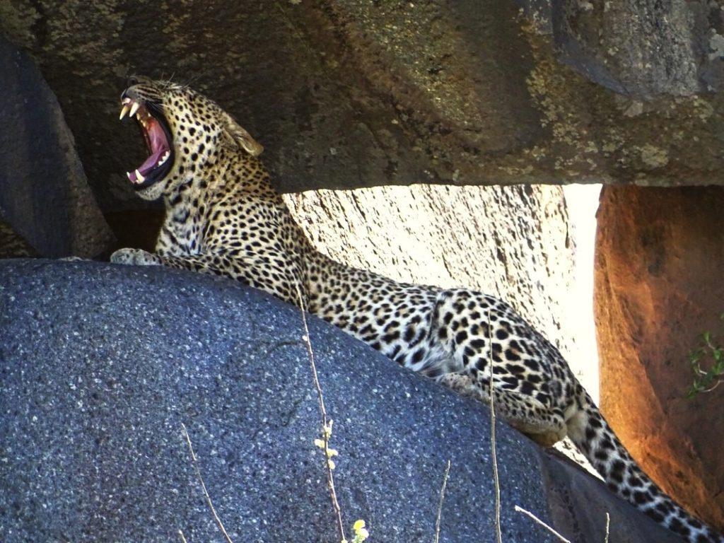 roaring cheetah