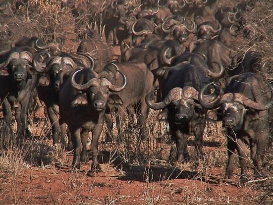 staring buffalos