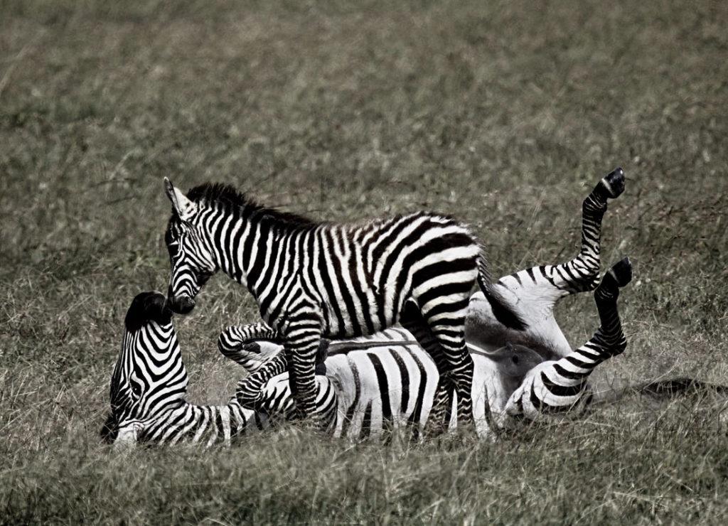 zebra with foil