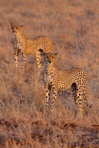 kenia july 2019 cheetah