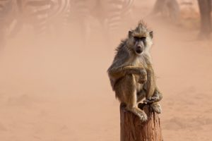 kenia july 2019 monkey