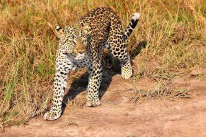 uganda august 2019 leopard