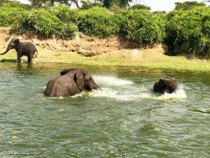 uganda june 2019 elephants