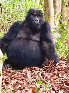 uganda june 2019 gorilla