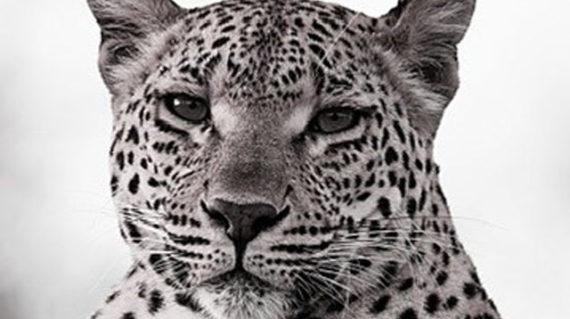 leopard SA
